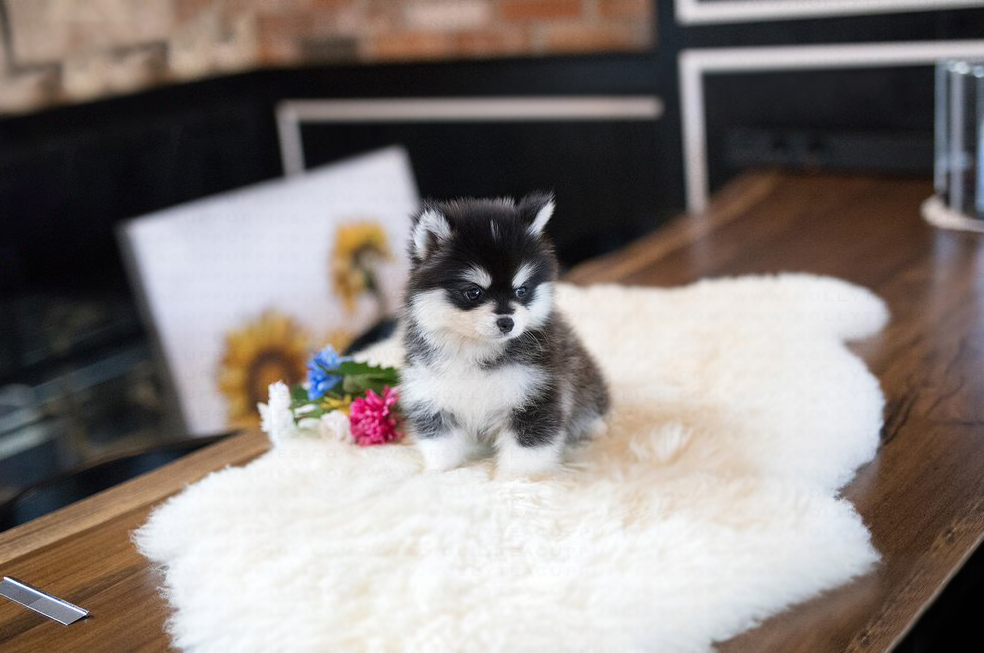 Sugar Tiny Teacup Pomeranian