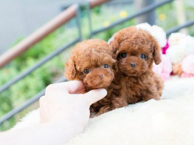 Avalon siblings Red Micro Teacup Poodle