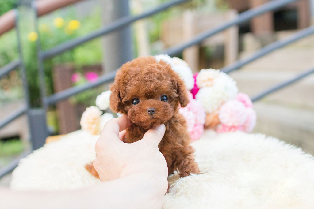 Avalon siblings Red Tiny Teacup Poodle
