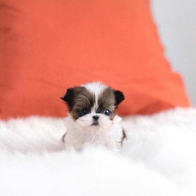 teacup shih tzu adults lola micro teacup shih tzu tiny teacup pups 8795