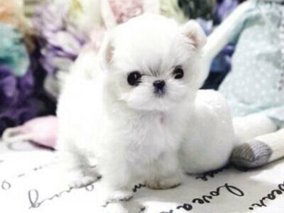 White Micro Teacup Maltese Puppy