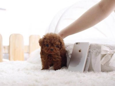 Ruby Red Micro Teacup Poodle