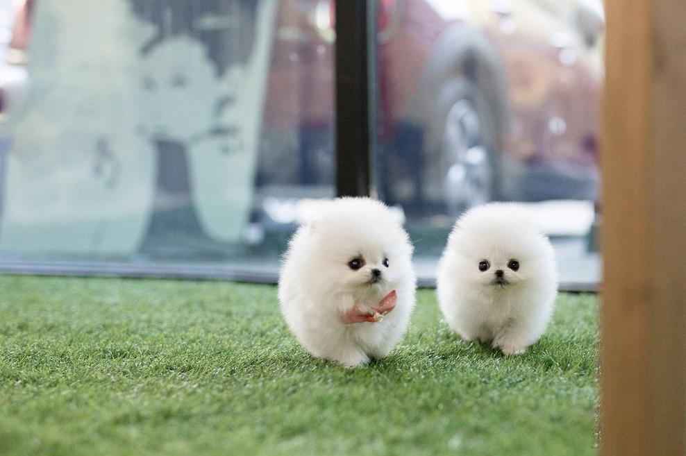 Paco and Puff Tiny Pomeranian twins