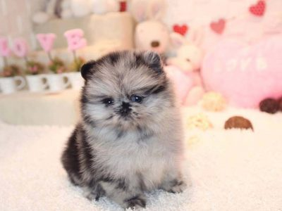 Blue Merle Blue Eyes Micro Pomeranian Puppy