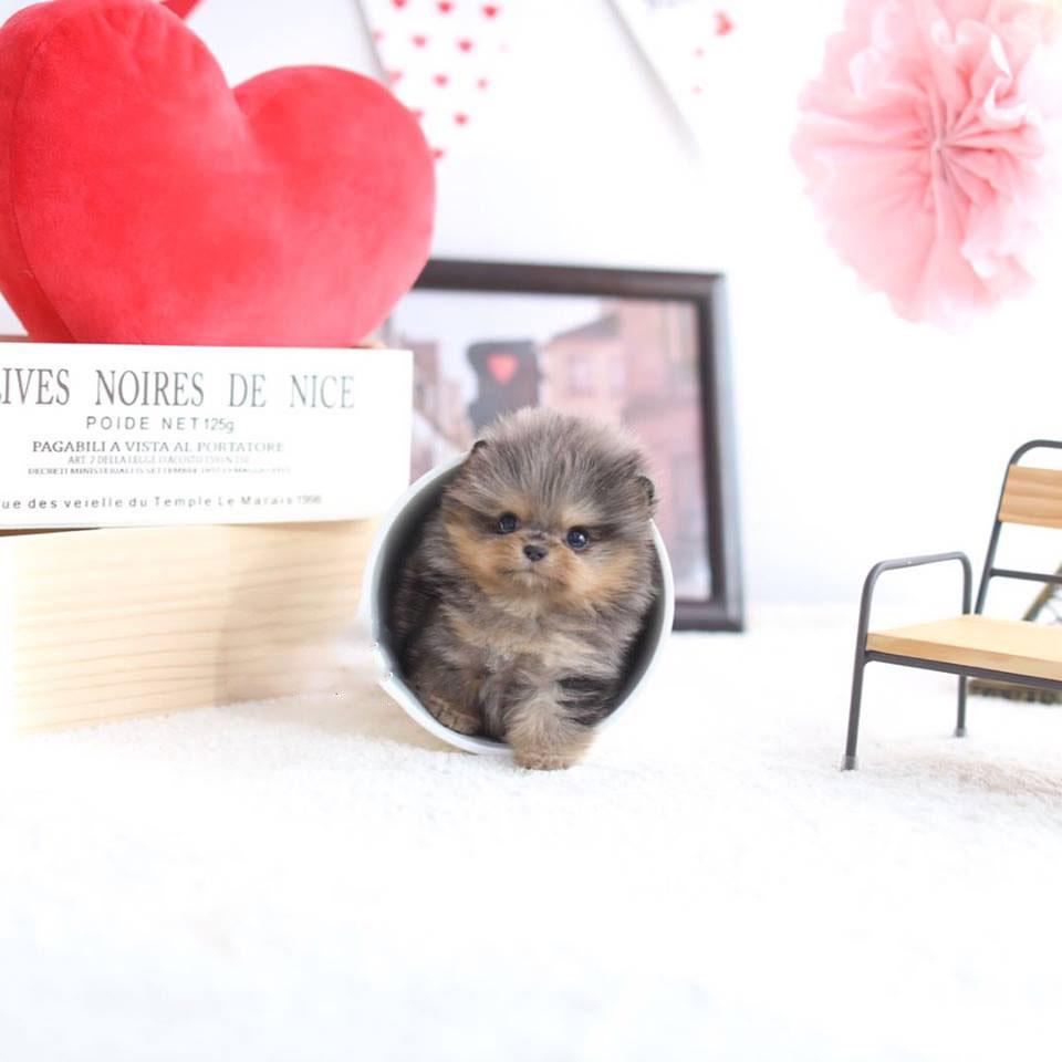 Aloha Merle Micro Pomeranian