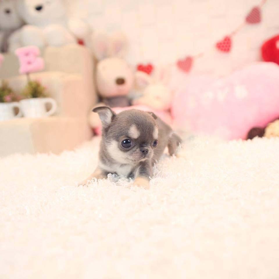 Cookie Blue and Cream Micro Teacup Chihuahua