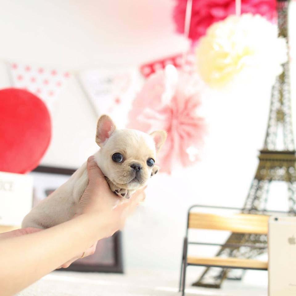 Fiona Cream Mini Frenchie