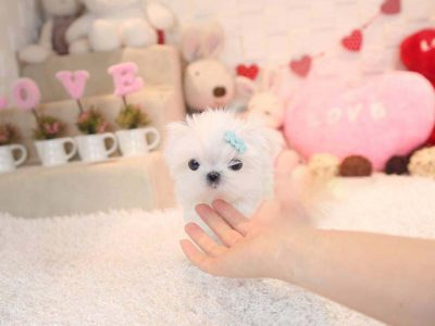 Micro Teacup Maltese Puppy For Sale