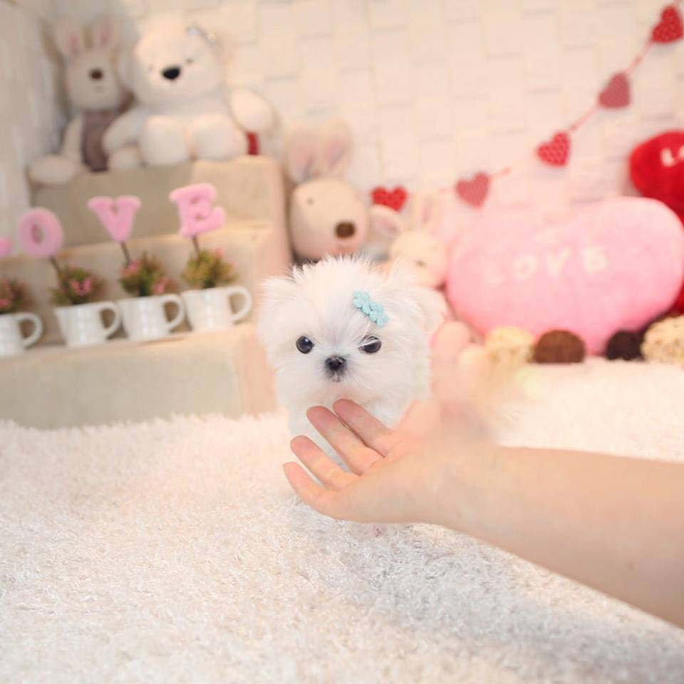 Mega White Micro Teacup Maltese