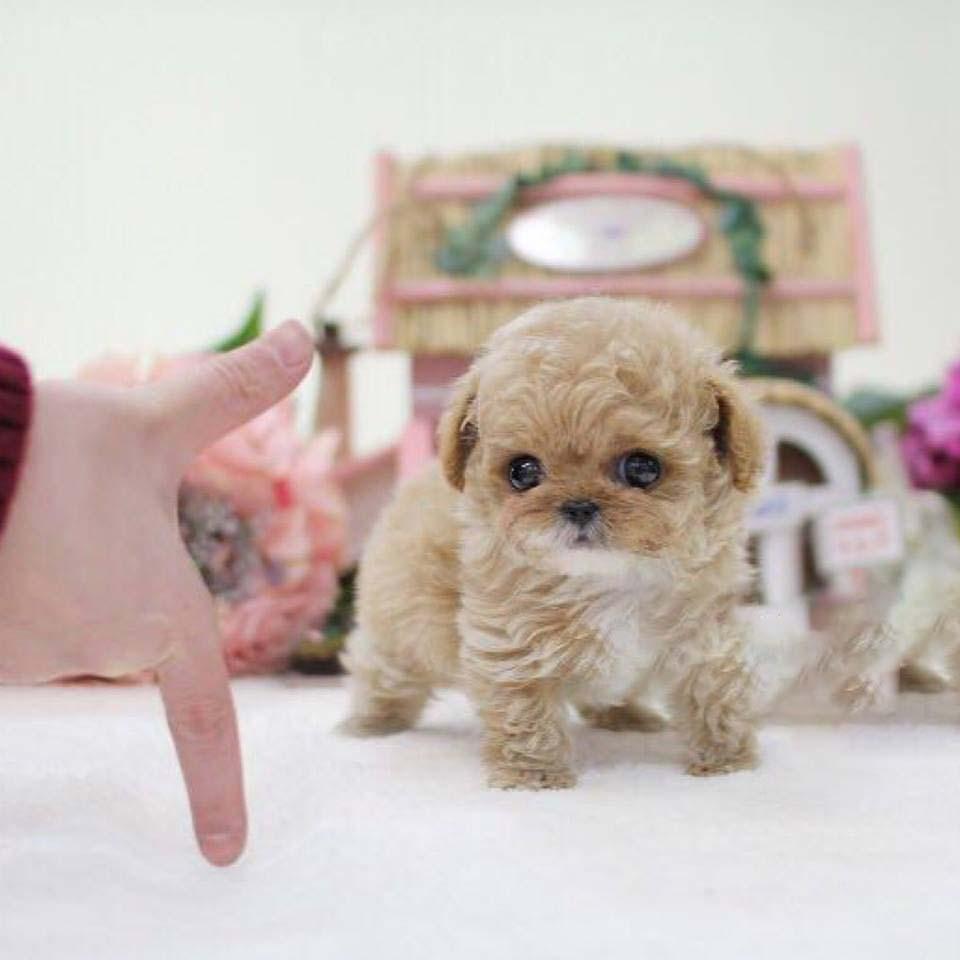 Peaches Cream Micro Poodle
