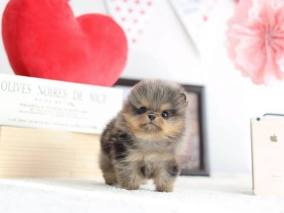 Merle Micro Pomeranian Puppy For Sale