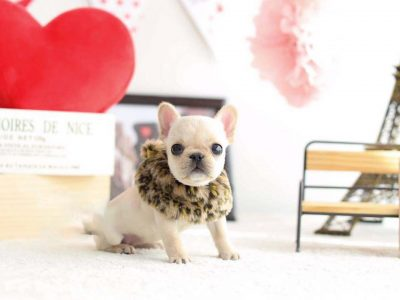 Cream Teacup French Bulldog Puppy