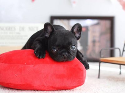 Black Teacup French Bulldog Puppy