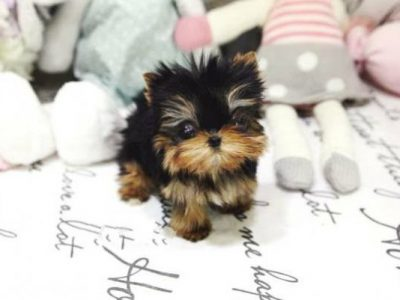 Classic Micro Teacup Yorkie Puppy