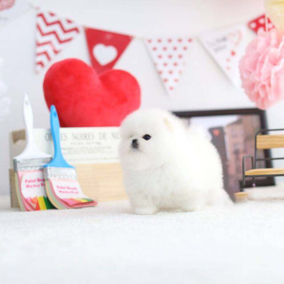 Amy White Micro Teacup Pomeranian