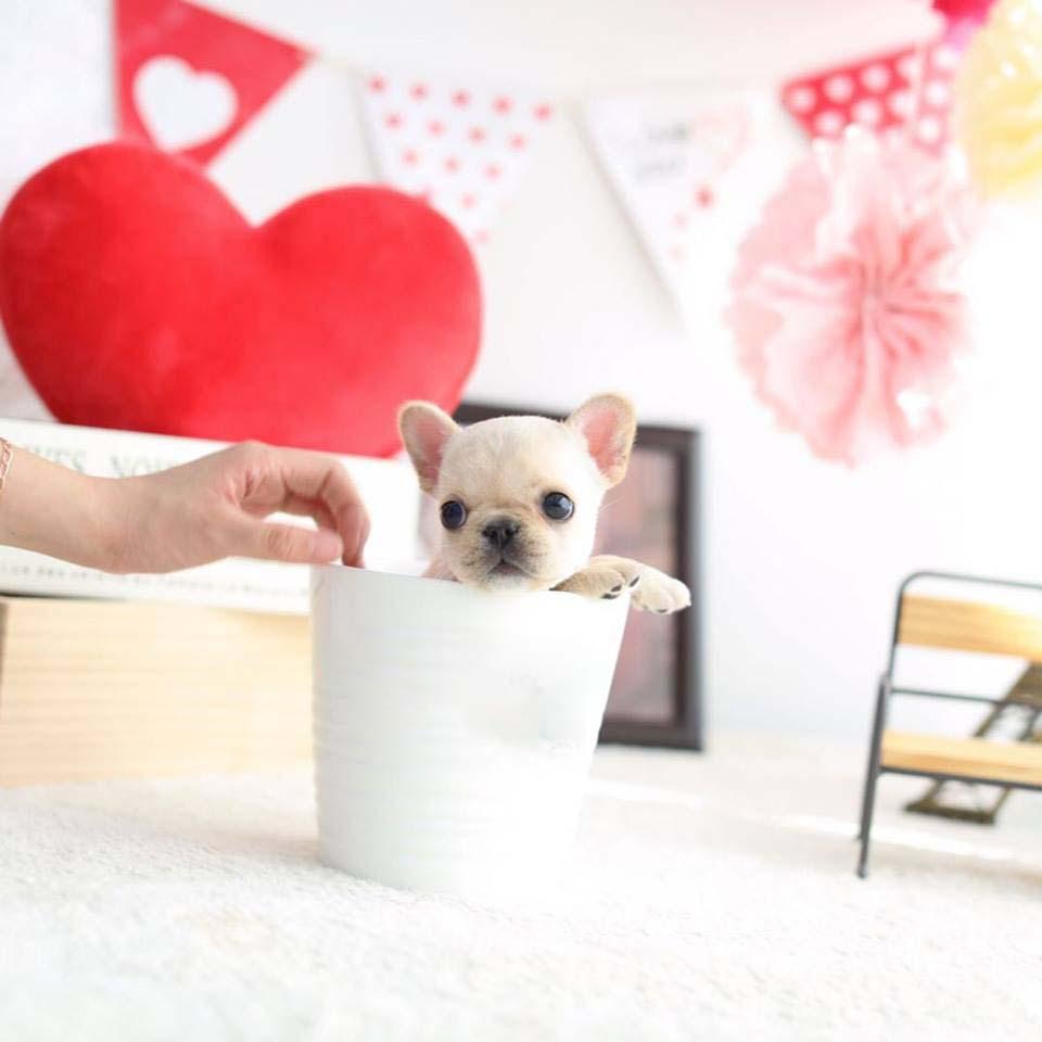 Fiona Cream Mini French Bulldog