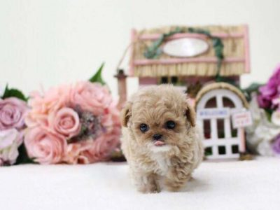 Penny White and Cream Micro Teacup Poodle