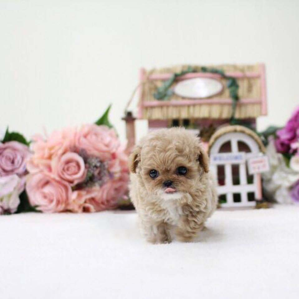 Penny White and Cream Tiny Teacup Poodle