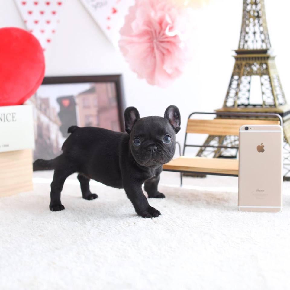 Fatty Black Mini French Bulldog
