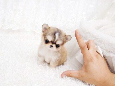 Cream Micro Chihuahua Puppy