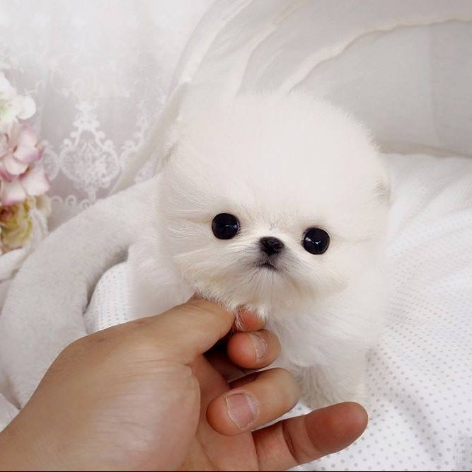 Simba White Tiny Teacup Pomeranian