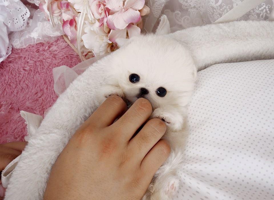 Perla White Micro Pomeranian | Tiny Teacup Pups - photo#45