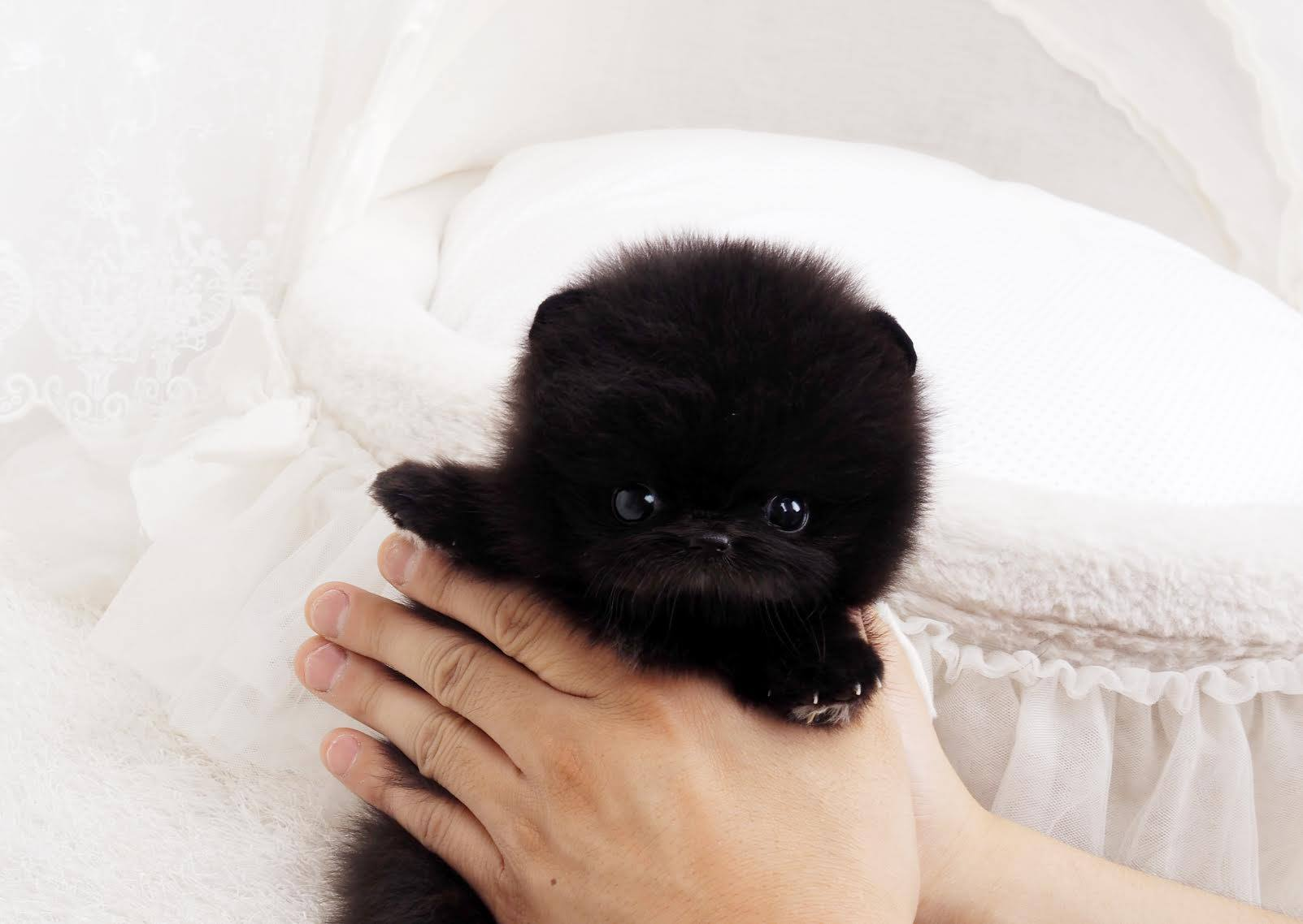 Quatro Black Micro Teacup Pomeranian