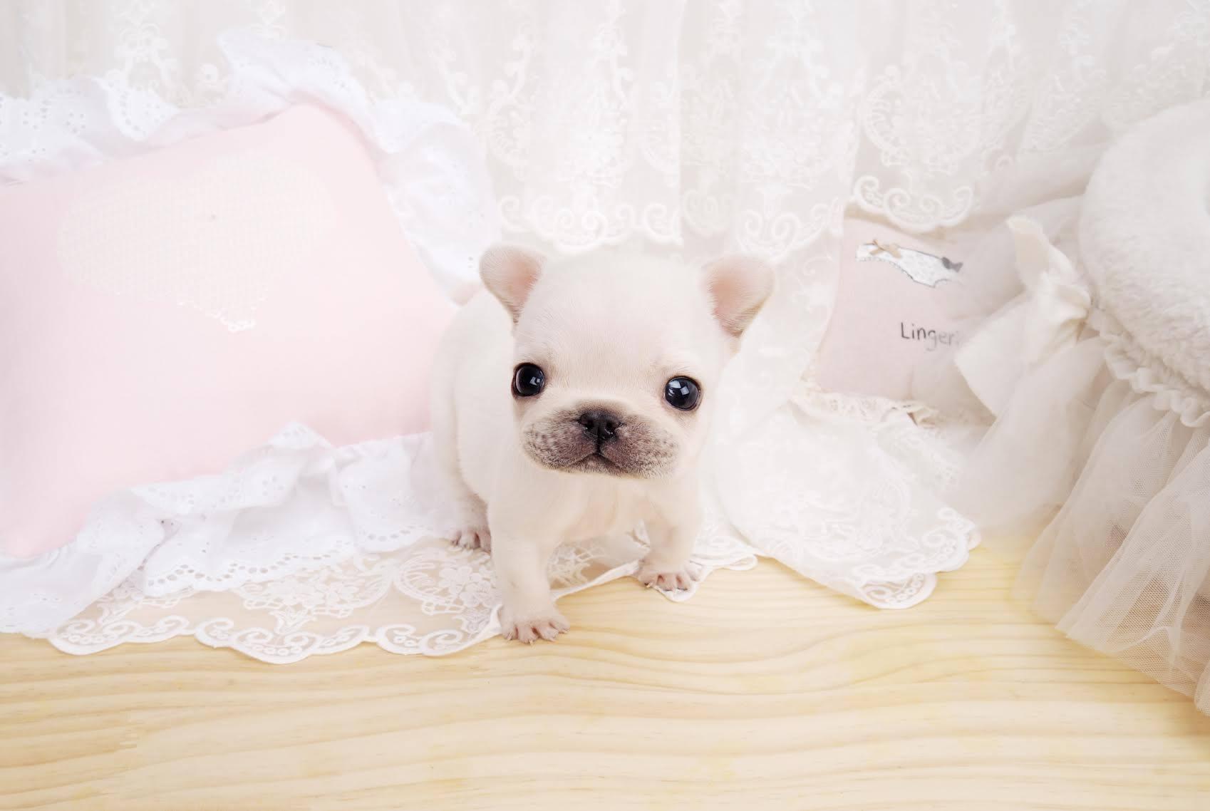 Fefe White Teacup French Bulldog