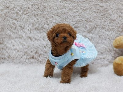 Red Micro Teacup Poodle Puppy