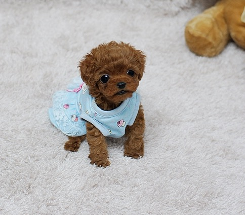 Peach Red Teacup Poodle