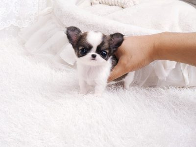 Blue and Cream Micro Chihuahua Puppy
