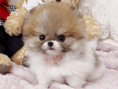 Classic Parti Micro Teacup Pomeranian Puppy For Sale