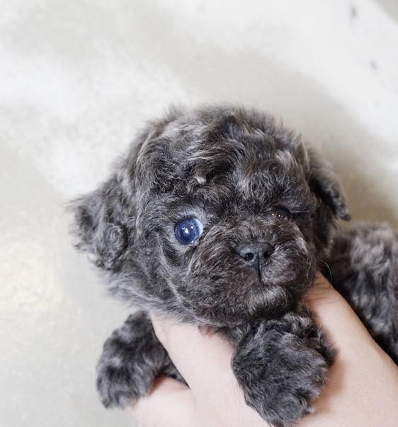 Canyon Blue Micro Teacup Poodle