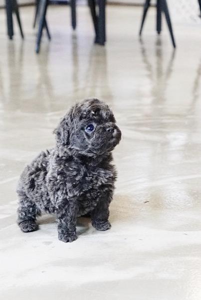 Petie Blue Micro Poodle