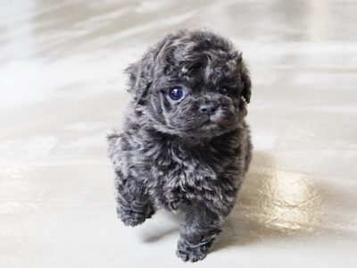 Blue Micro Teacup Poodle Puppy For Sale