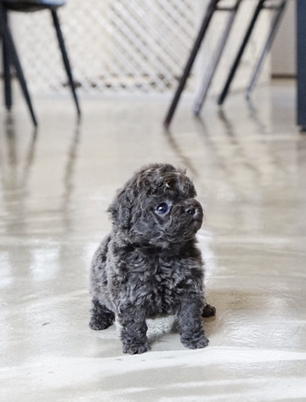 Canyon Blue Micro Teacup Poodle