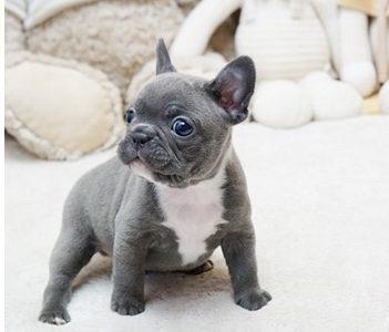 Mini French Bulldog Puppy For Sale