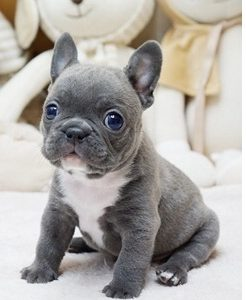 Teacup French Bulldog Puppy For Sale
