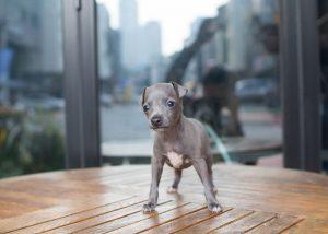 Teacup Italian Greyhound