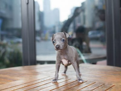Blue Teacup Italian Greyhound Puppy For Sale