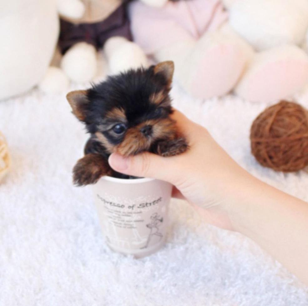 Fawn Classic Tiny Teacup Yorkie