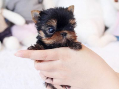 Micro Yorkie Puppy For Sale