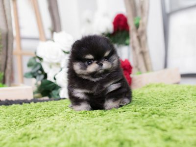 Black Tan Micro Pomeranian Puppy