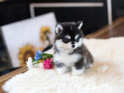 Classic Teacup Pomsky Puppy