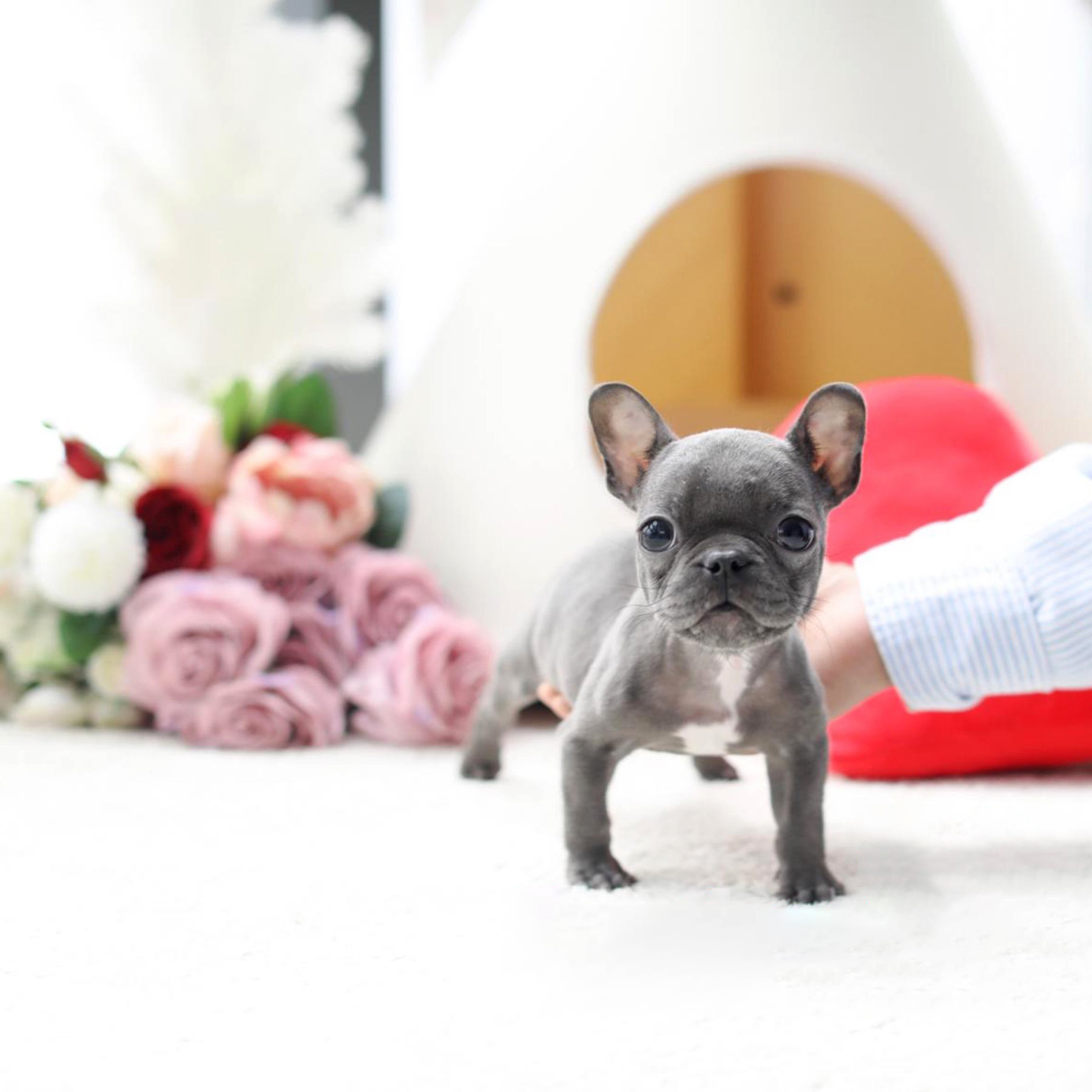 Fancy Teacup Frenchie