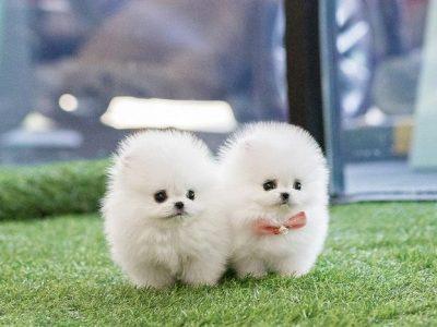 White Micro Pomeranian Puppy