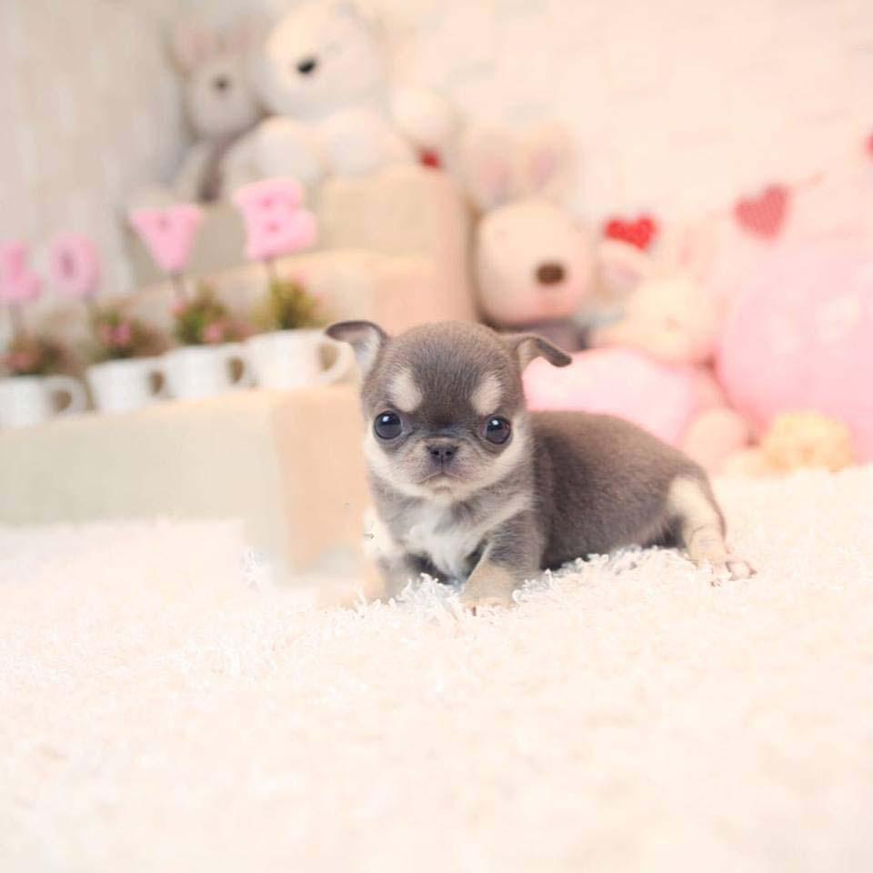 Cookie Blue and Cream Micro Chihuahua