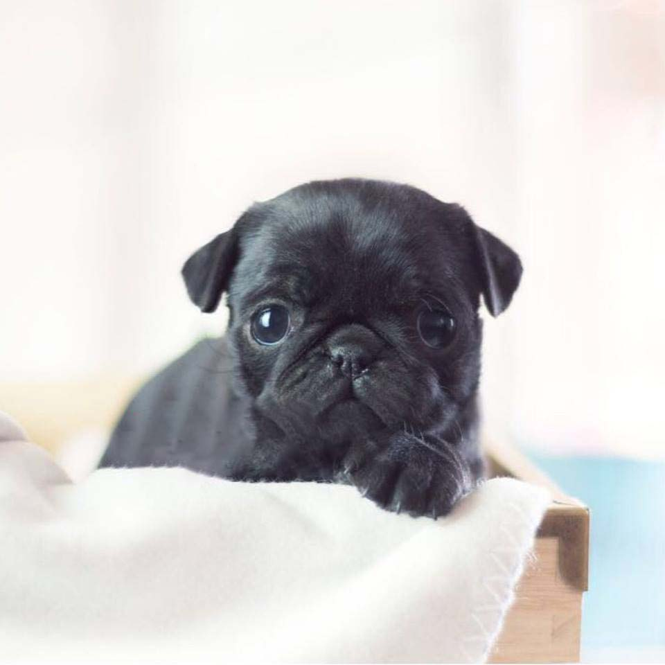 Xena Black Teacup Pug
