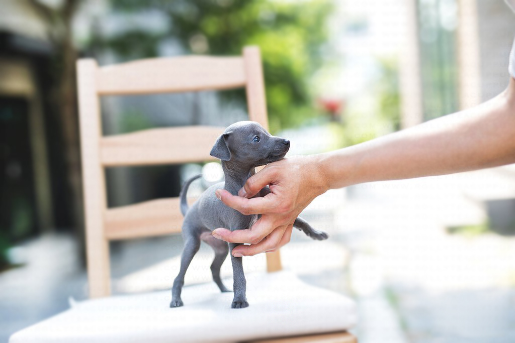 Giggy Teacup Italian Greyhound