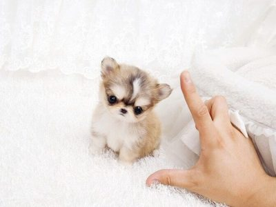 Micro Chihuahua Puppy For Sale